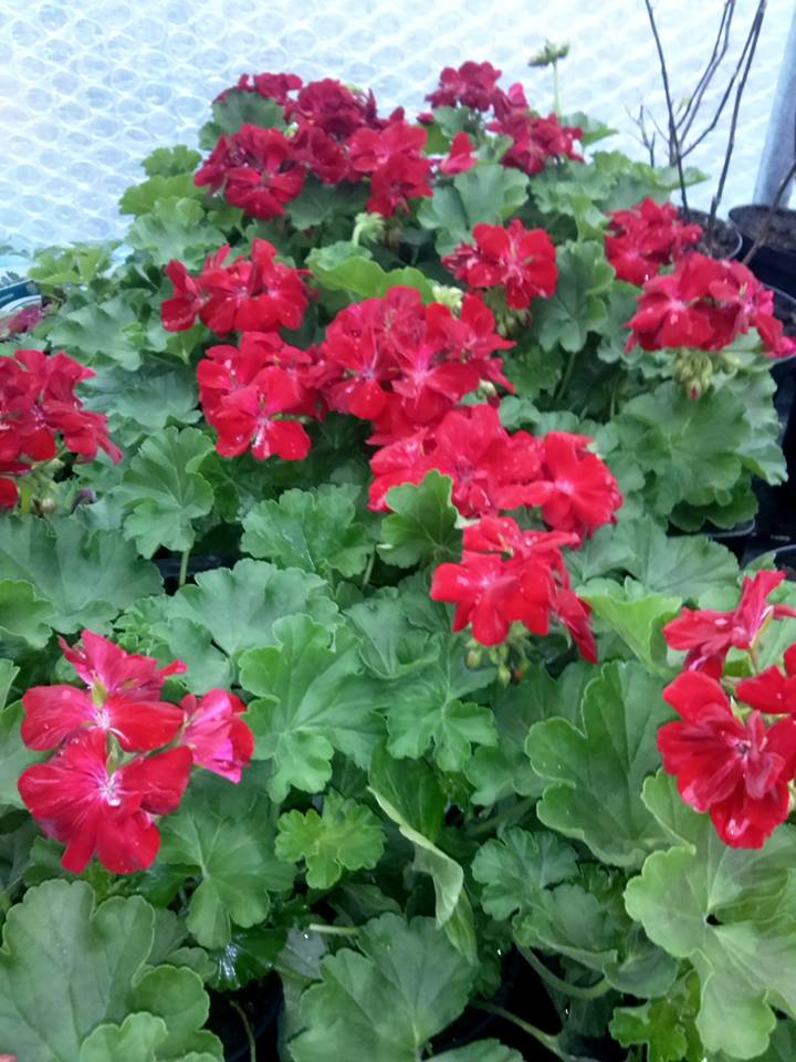 Pelargonia Caliope