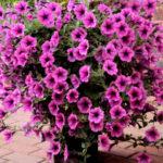 petunia kaskadowa