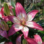 Lilia biało-różowa